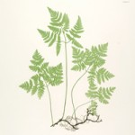 Free Fern Printables | Collection of Large Scale Botanicals