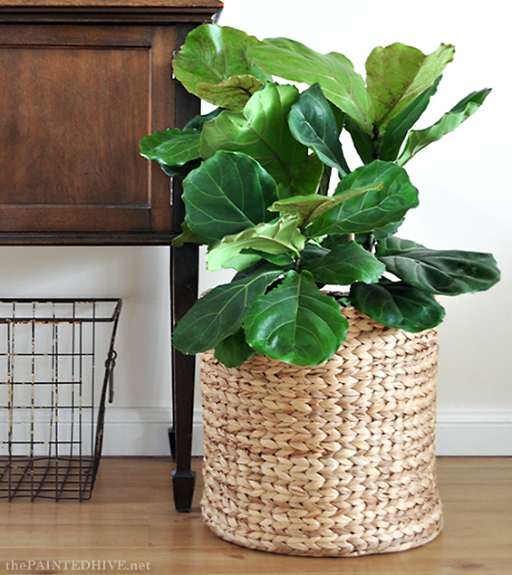 Fiddle Leaf Fig Tree | The Painted Hive
