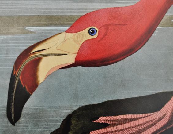 Audubon Flamingo Printable